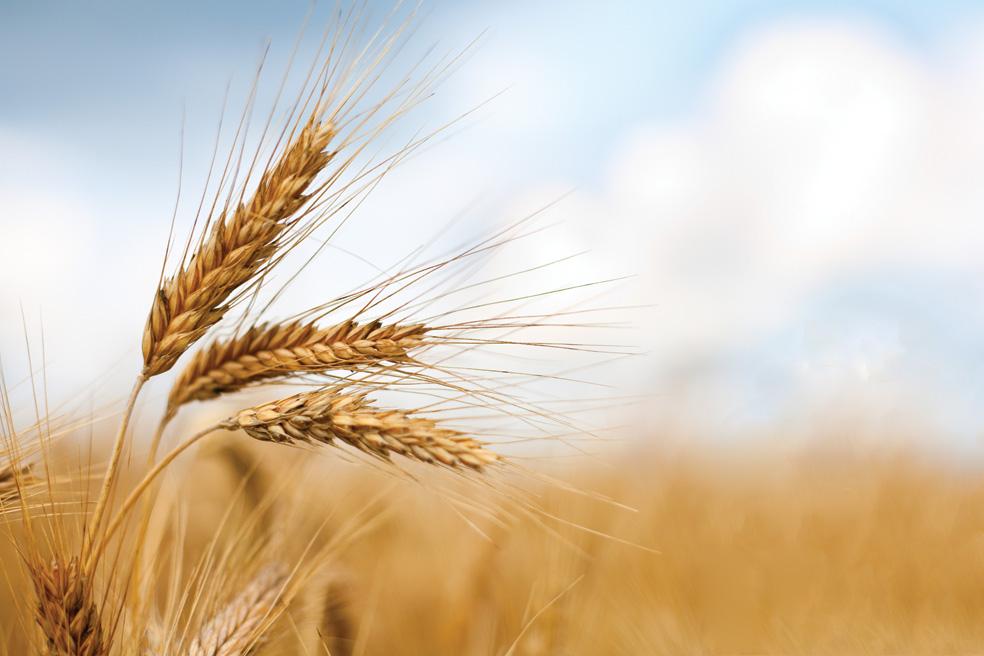 Crolla il prezzo del grano in provincia